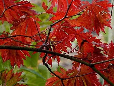 Les rables au feuillage d automne particuli rement remarquable arrosoirs et s cateurs - Tuer un arbre avec de l acide ...