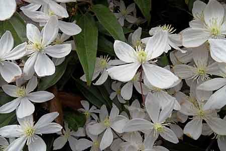Le jardin du clos le jardin de pamela st sauveur le vicomte arrosoirs - Plante grimpante croissance rapide ...